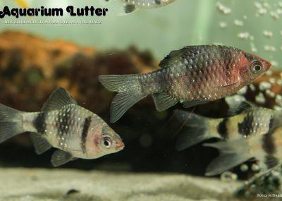 Purpurkopfbarbe - Barbus nigrofasciatus