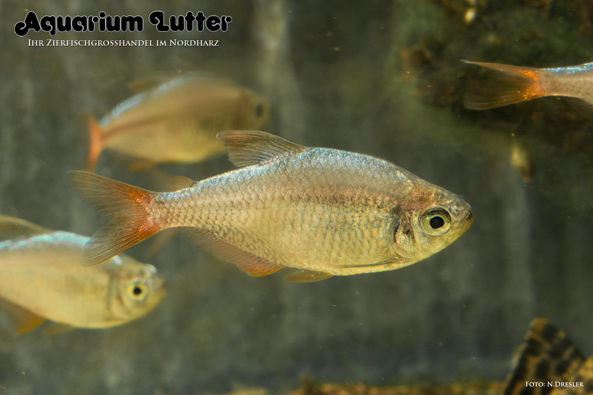 Rot Blauer Kolumbianer – Hyphessobrycon columbianus