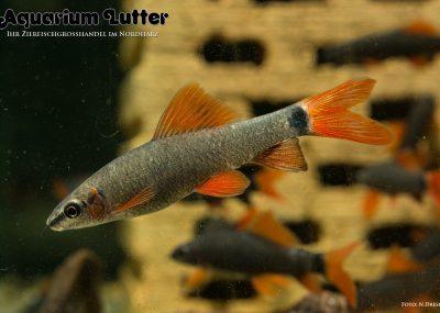 Rotflossen Fransenlipper - Epalzeorhynchus-frenatus