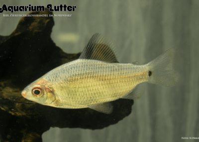 Schwarzroter Lefini - Distichodus distichodus-sp.-Black-Red-LEFINI-River