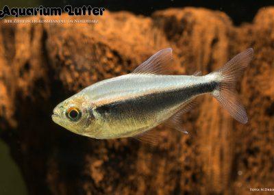 Schwarzer Neonsalmler - Hyphessobrycon herbertaxelrodi