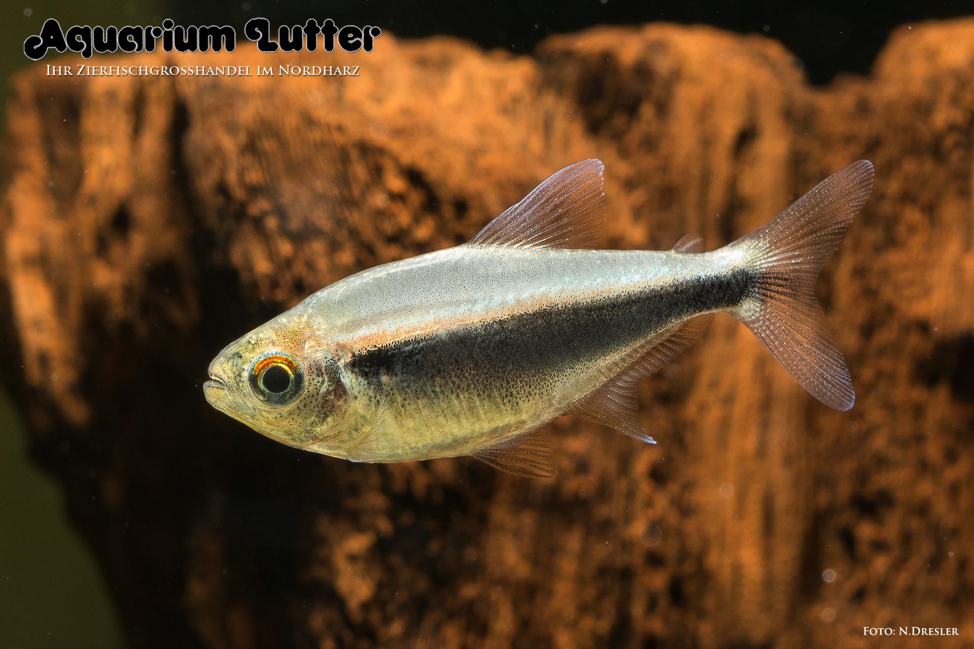 Schwarzer Neonsalmler – Hyphessobrycon herbertaxelrodi