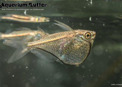 Zwerg Glasbeilbauchfisch – Carnegiella myersi