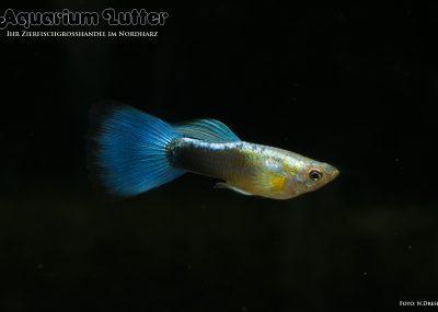 Guppy Männchen Neonblau - Poecilia reticulata