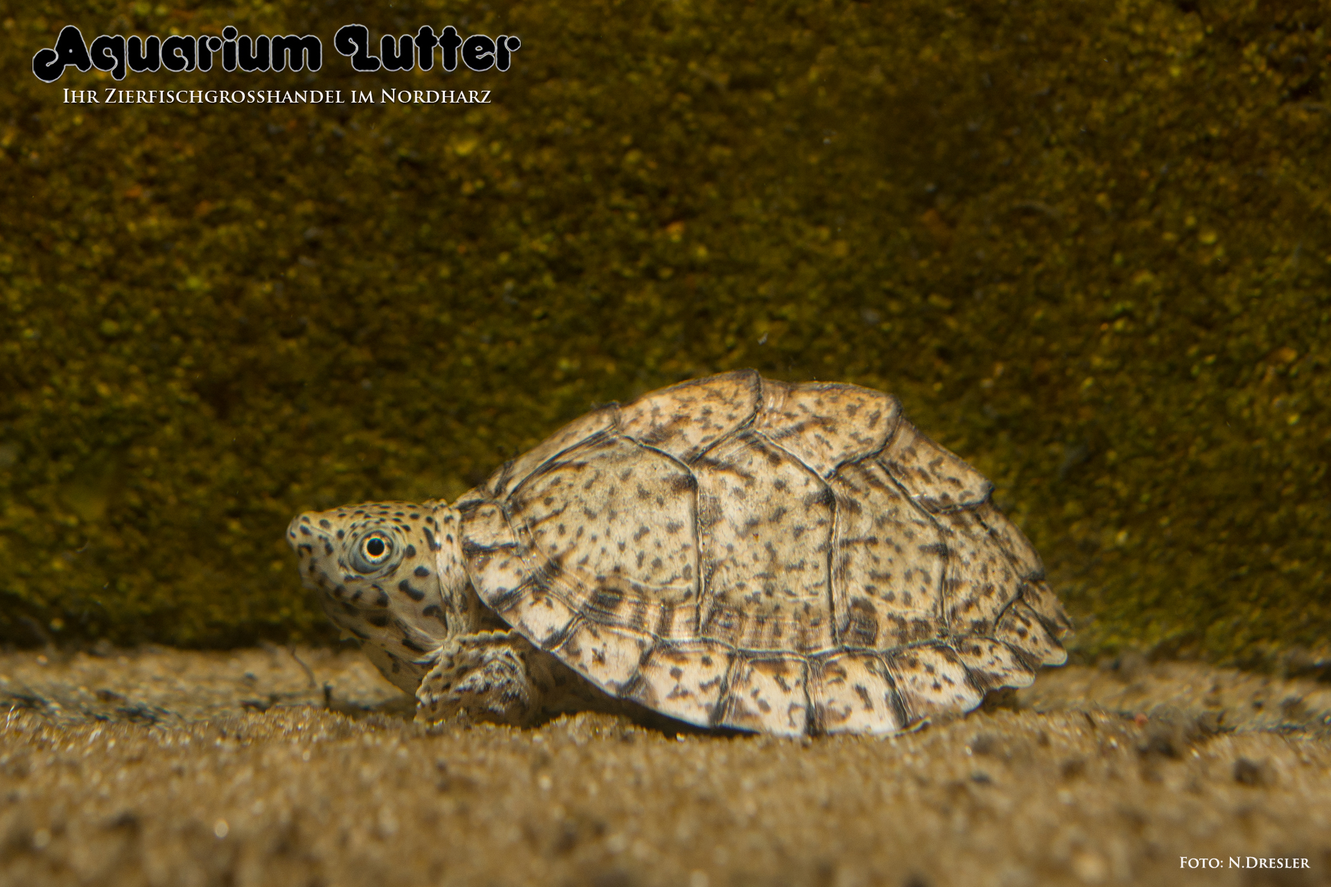 Dach Moschusschildkröte - Sternotherus carinatus