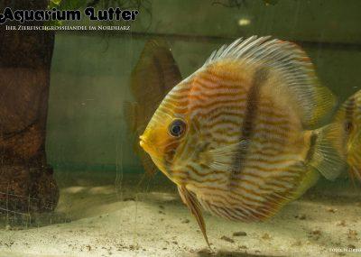 Diskus Heckel WF - Symphysodon discus