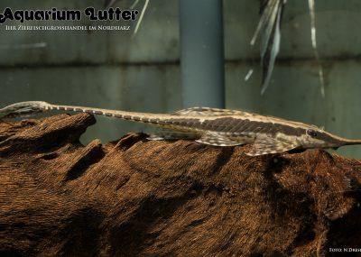 Goldbart Sturisoma - Sturisoma aureum