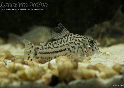 Leopard Panzerwels - Corydoras julii