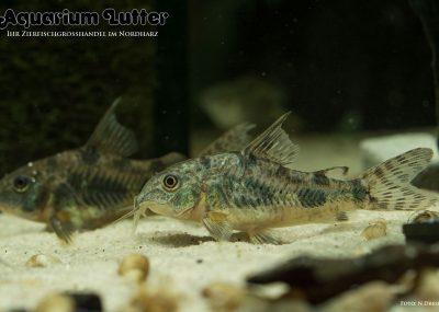 Marmor Panzerwels - Corydoras paleatus