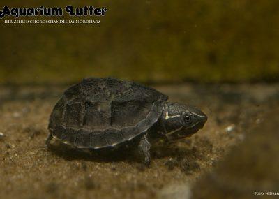 Moschus Schildkröte - Sternotherus odoratus