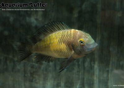 Red Rainbow Brabantbuntbarsch - Tropheus moori Kasanga