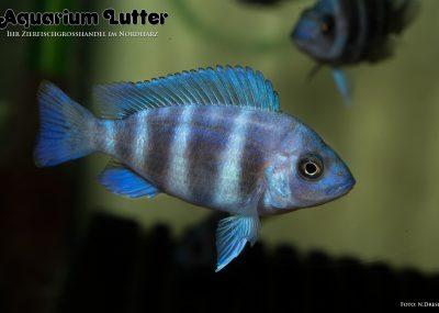 Tanganjika Buckelkopf Blue Zaire - Cyphotilapia frontosa Blue Zaire