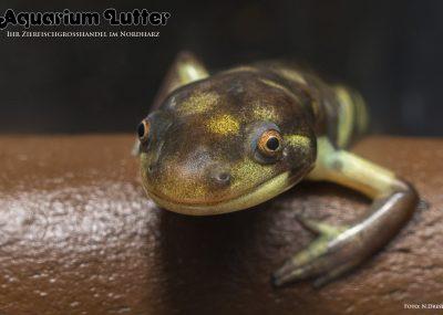 Westlicher Tigersalamander - Ambystoma mavortium mavortium