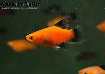Wagtail Platy - Xiphophorus maculatus