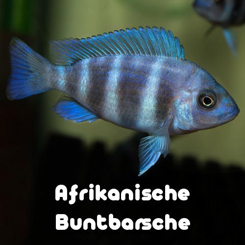 afrikanische-barsche-galerie-uebersicht