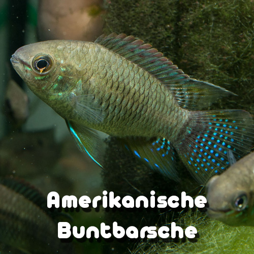 amerikanische-barsche-galerie-uebersicht