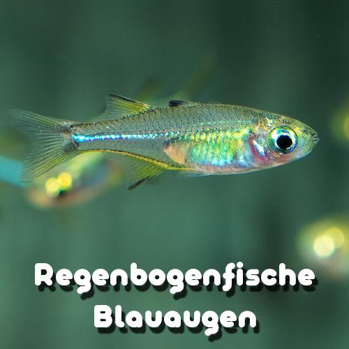 regenbogenfische-uebersicht