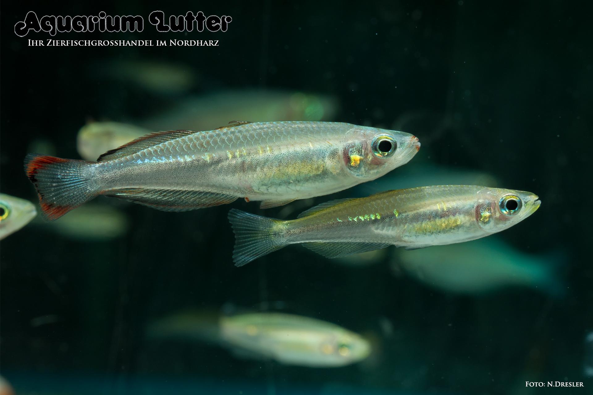 Madagaskar Ährenfisch - Bedotia geayi