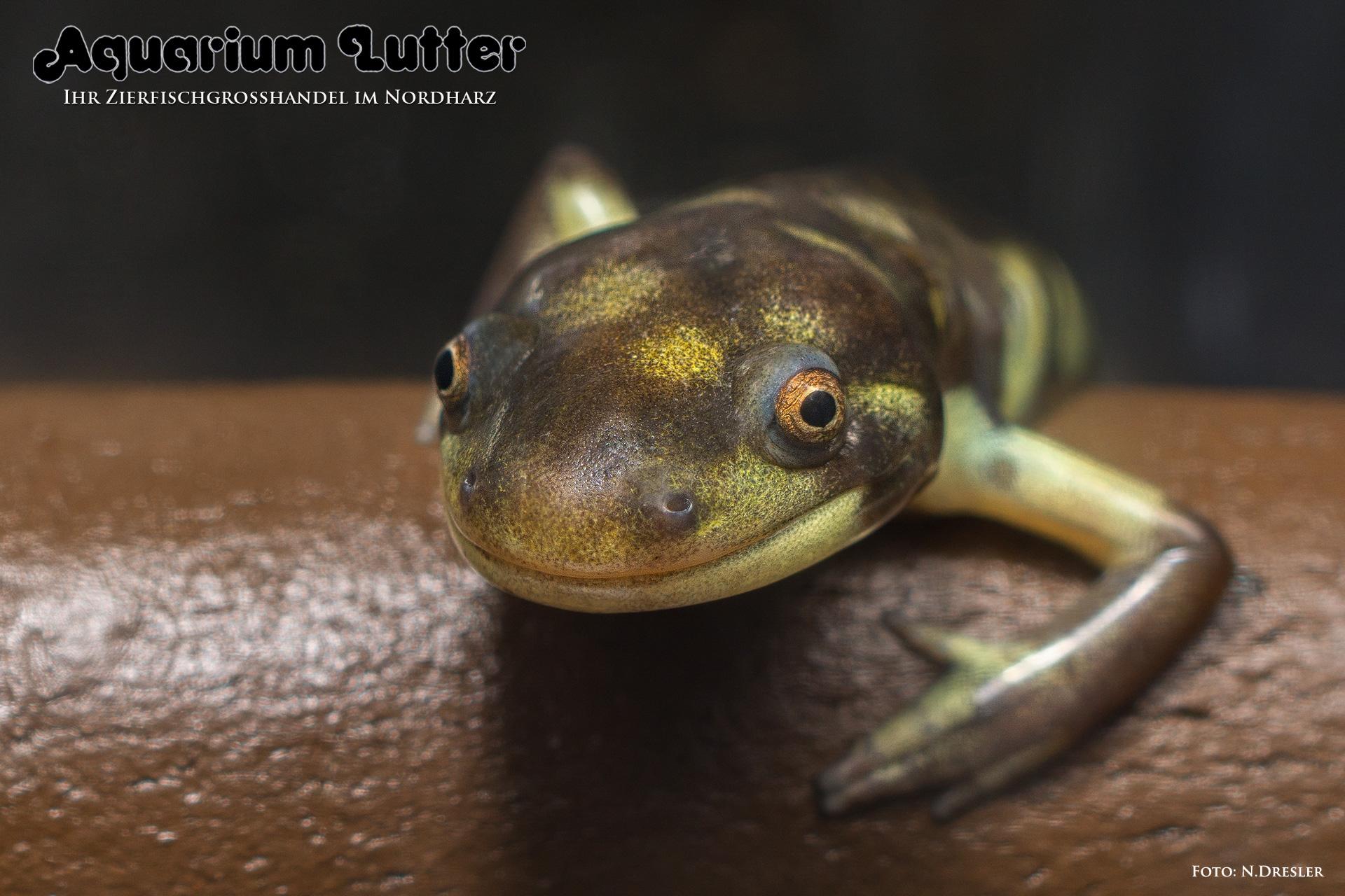 axolotl-tiger