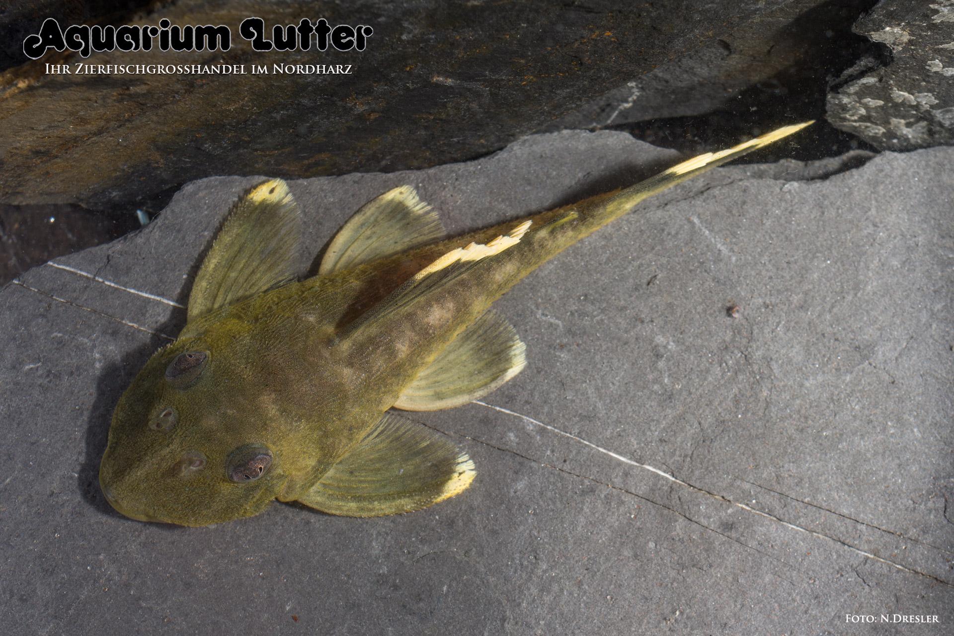 L47-Magnum Harnischwels - Baryancistrus chrysolomus
