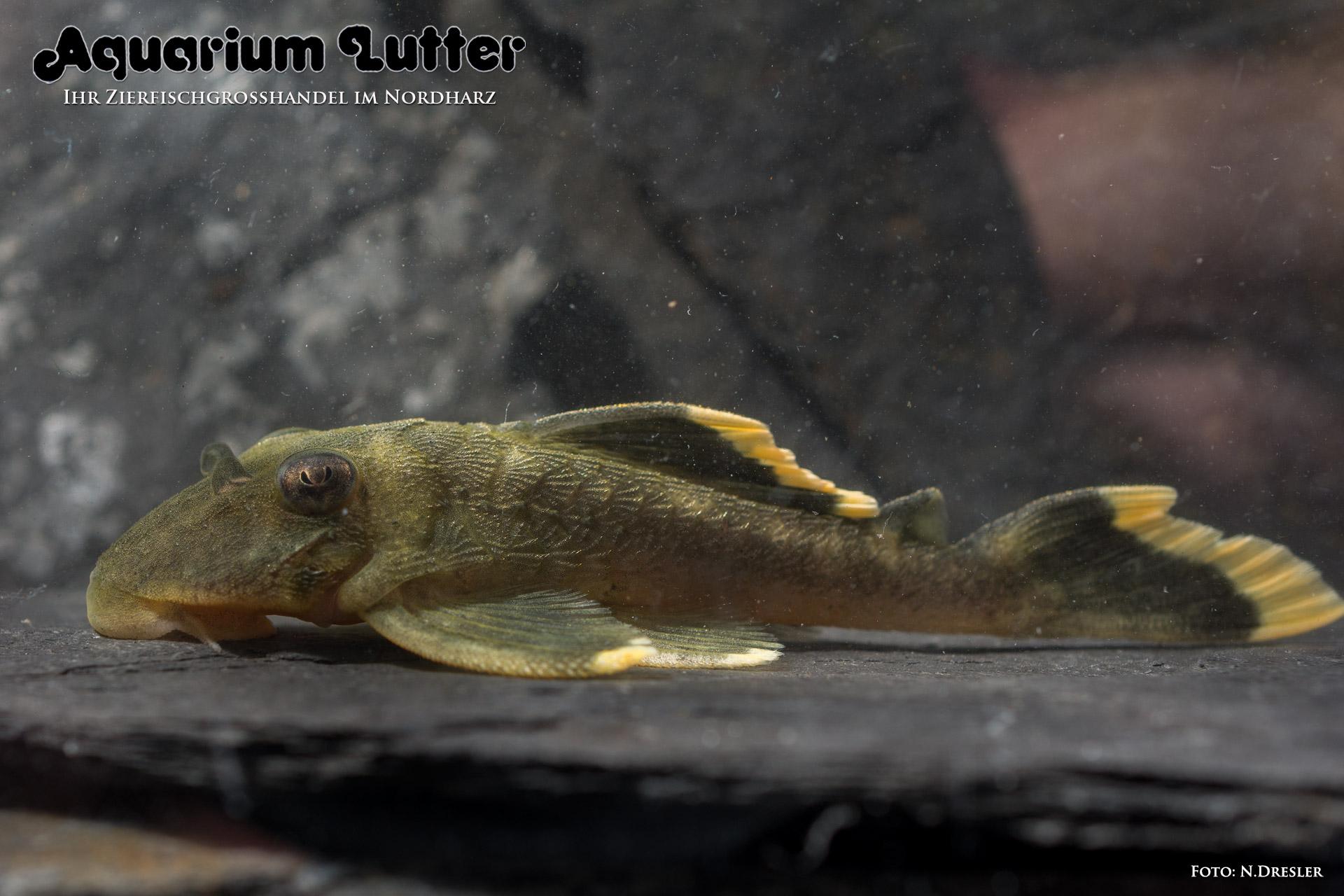 L47-Magnum-Harnischwels - Baryancistrus chrysolomus