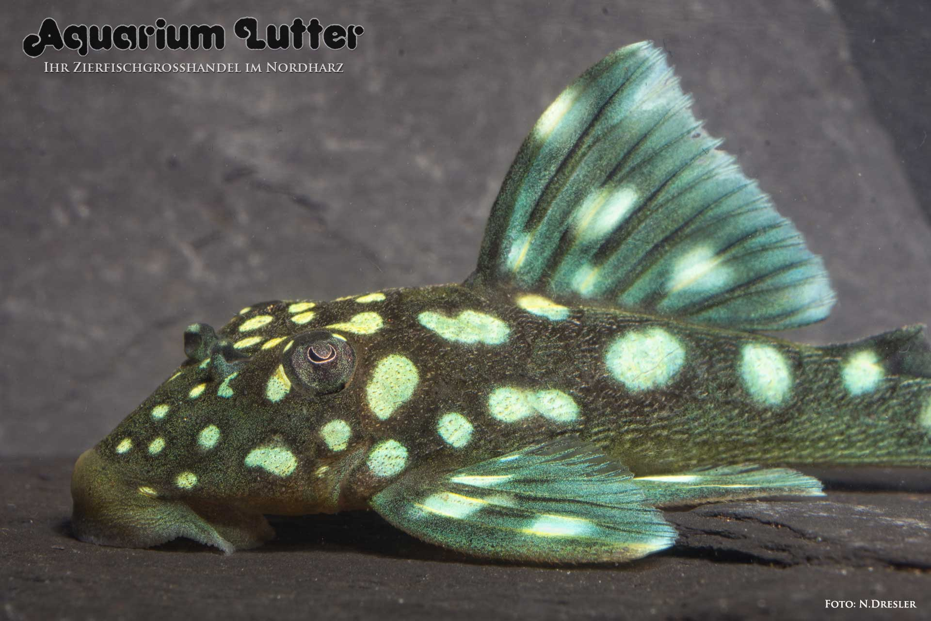 L 128 Blauer Phantomwels - Hemiancistrus sp.