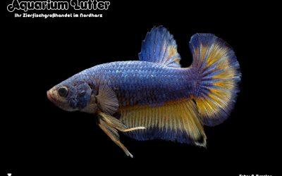 Kampffisch Männchen Plakat HM Fancy