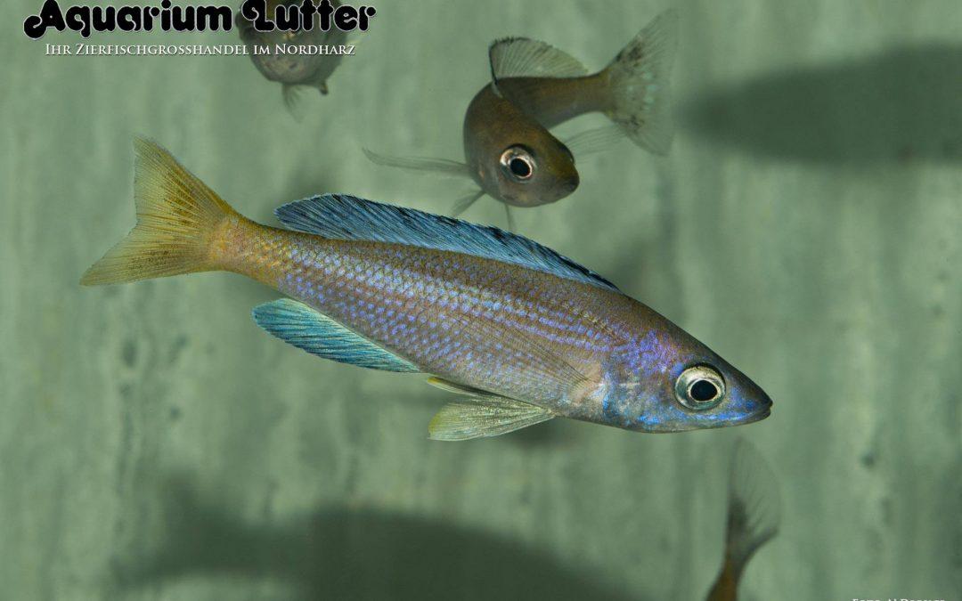 "Cyprichromis leptosoma ""Speckleback moba"""