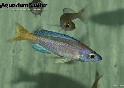 Cyprichromis leptosoma Speckleback moba (3)