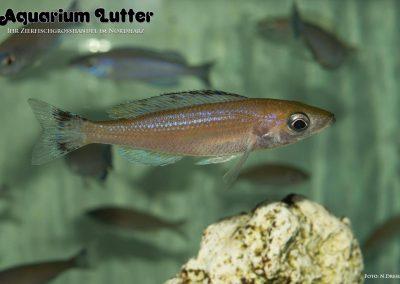 Cyprichromis leptosoma Speckleback moba (5)