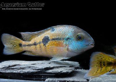 Nicaragua-Traumbarsch-Hypsophrys-nicaraguensis-2
