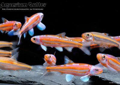 Regenbogenelritze-Notropus-chrosomus-3