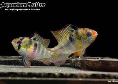 Südamerikanischer-Schmetterlingsbuntbarsch-Microgeophagus-ramirezi-3