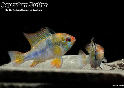 Südamerikanischer-Schmetterlingsbuntbarsch-Microgeophagus-ramirezi-4