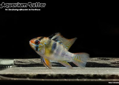 Südamerikanischer-Schmetterlingsbuntbarsch-Microgeophagus-ramirezi-5