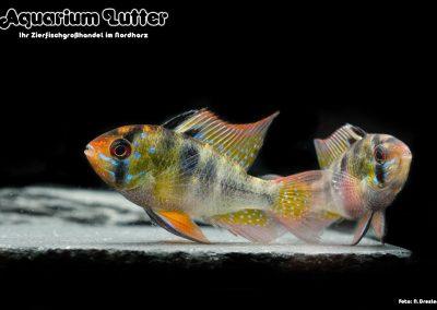 Südamerikanischer-Schmetterlingsbuntbarsch-Microgeophagus-ramirezi-6