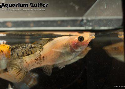 Segelkaerpfling-Poecilia-velifera4