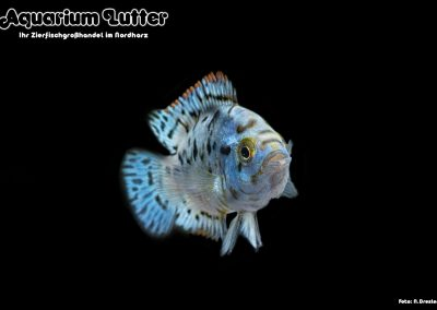 Cichlasoma-octofasciatum-Blue-Jack-Dempsey