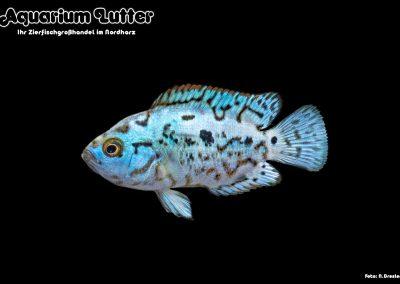 Cichlasoma-octofasciatum-Blue-Jack-Dempsey-2