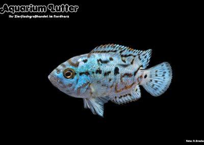 Cichlasoma-octofasciatum-Blue-Jack-Dempsey-3