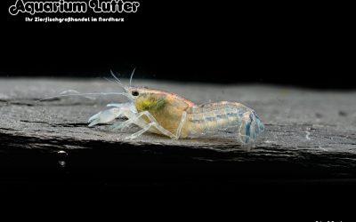 Kleiner Zwergzierkrebs – Cambarellus diminutus