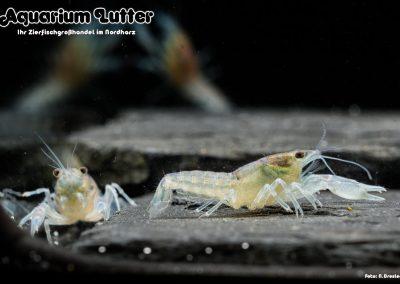 Kleiner Zwergzierkrebs - Cambarellus diminutus