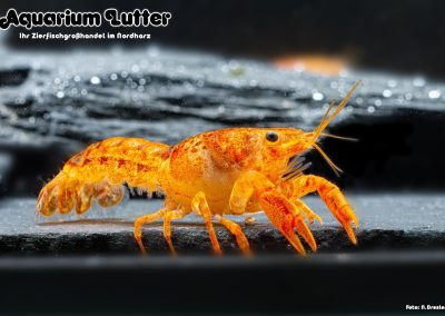 Orangefarbener-Zwergzierkrebs-Cambarellus-patzcuarensis-4