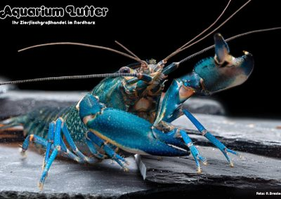 Cherax Blue Moon
