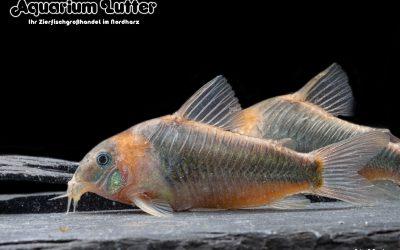 Dreieckspanzerwels – Corydoras eques