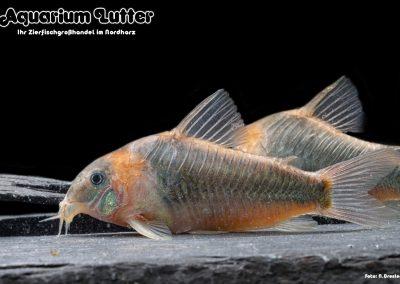 Dreieckspanzerwels - Corydoras eques