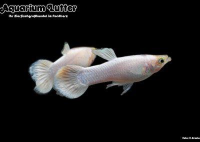 Guppy Männchen Platinum White - Poecilia reticulata