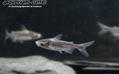 Hochflossenhaiwels – Pangasius sanitwongsei