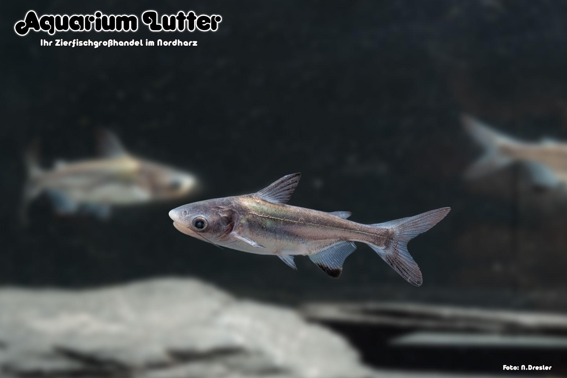 Hochflossenhaiwels - Pangasius sanitwongsei-4