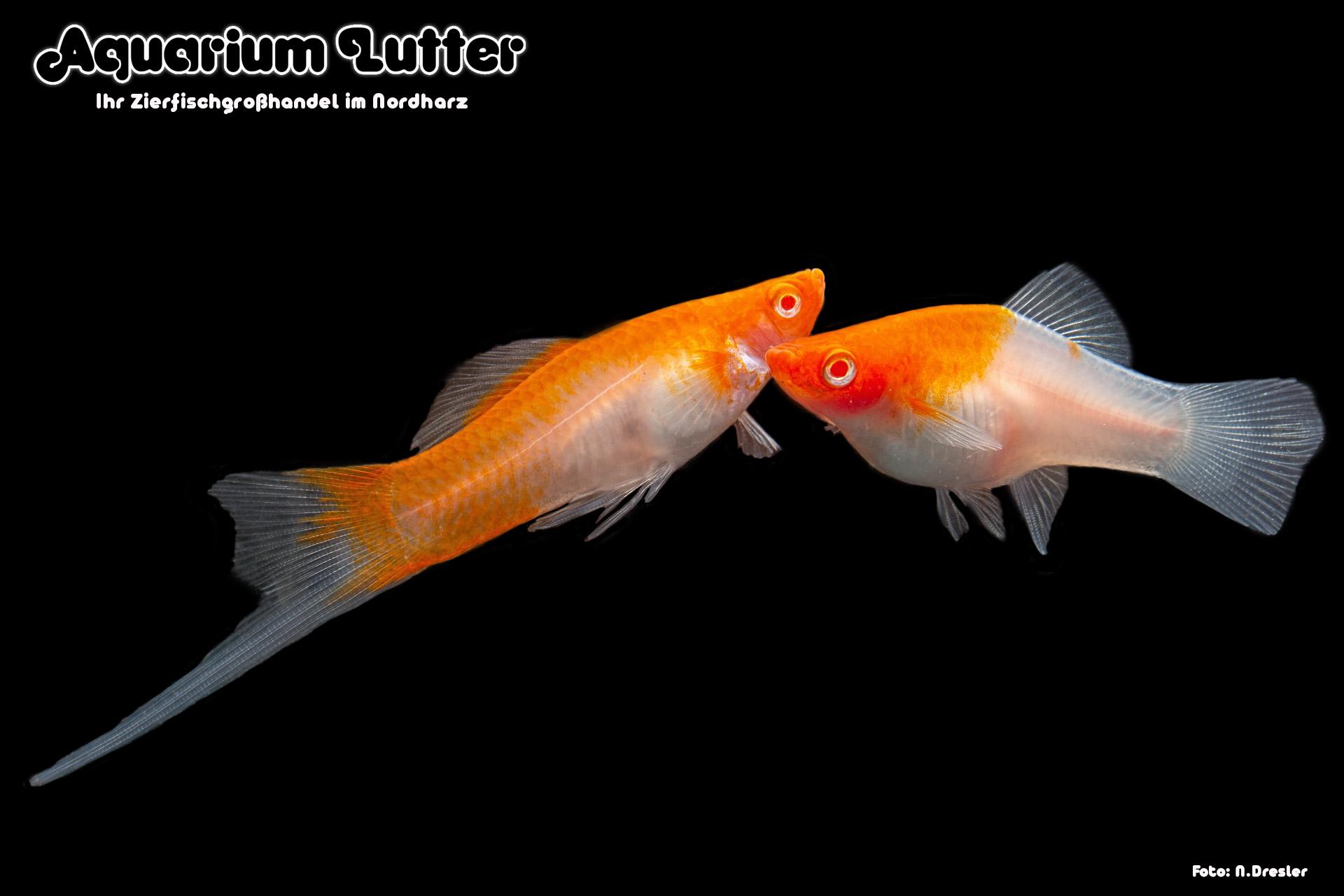 Koi-Schwertträger-Kohaku-Xiphophorus-helleri-4